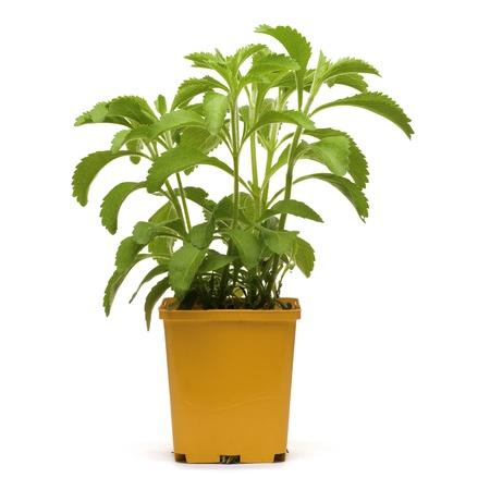 stevia plan into an orange bucklet, white background square image photo