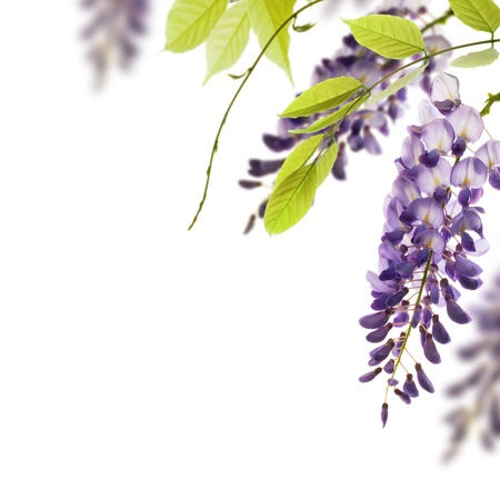 wisteria flowers, green leaves border for an angle of page over a white background  decorative element