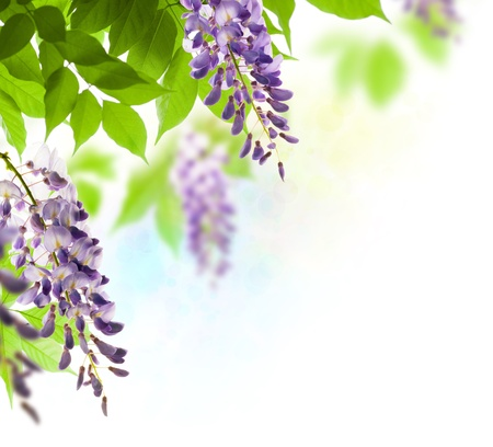 wisteria: green leaves border for an angle of page over a white background - wisteria leaf Stock Photo