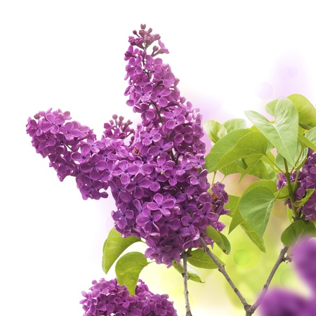 purple lilac: lilac flowers in spring - border of a page, purple and green colors  Stock Photo