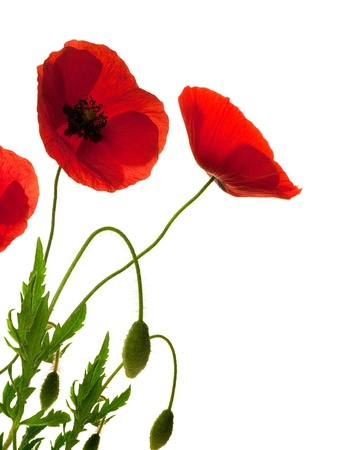 red poppies over white background, border, decorative flowers design  photo