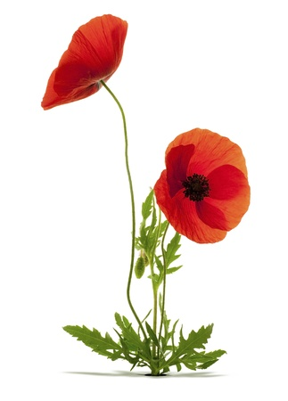 poppy leaf: papaver rhoeas, red poppies over white background with shadow and a hole