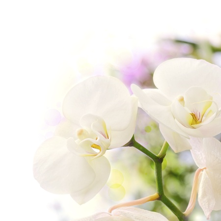 tropical border: white orchids over a blur background with bokeh effect, with green yellow and purple colors, decorative background border Stock Photo