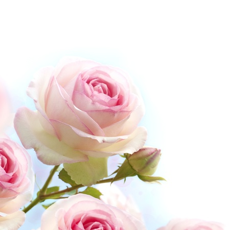 pink roses background, floral border with gradiant from blue to white dedicated for a romantic or love card, close up of the flowers
