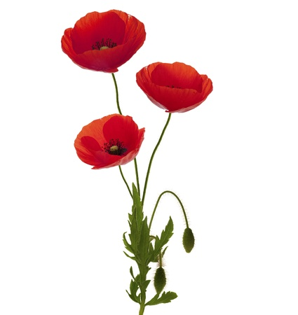 entire: 3 poppies bouquet over white background, entire plant with green foliage and red petals Stock Photo