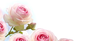 rosebush: rosebush flowers, pink roses over a gradient blue to white background, horizontal banner  Stock Photo