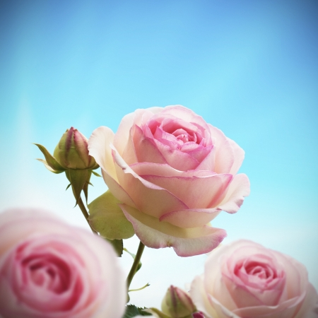close up of a rosebush or rose tree with blue sky, roses are pink and green  with one bud photo