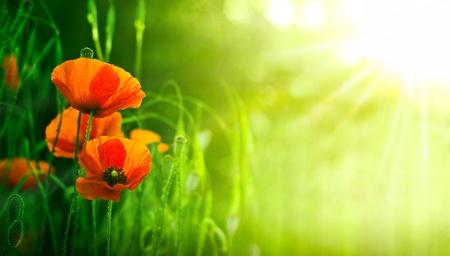 Rote Mohnblumen in einer natürlichen Landschaft, mit der Sonne auf der rechten Seite Platz für Text Standard-Bild - 18027164