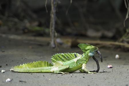 lombriz de tierra: Primer plano de un basilisco emplumada comiendo una lombriz de tierra en los bosques tropicales Costa Rica. Foto de archivo