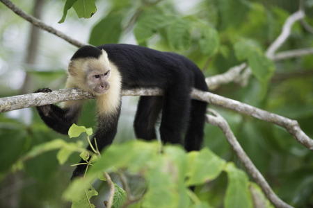 tropical forest: Gracile Capuchin Monkey in a costa Rica tropical forest lying on a tree branch, horizontal image. Stock Photo
