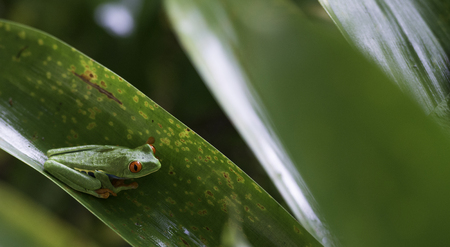 callidryas: Red Eyed Tree Frog on a green leaf. Agalychnis Callidryas.