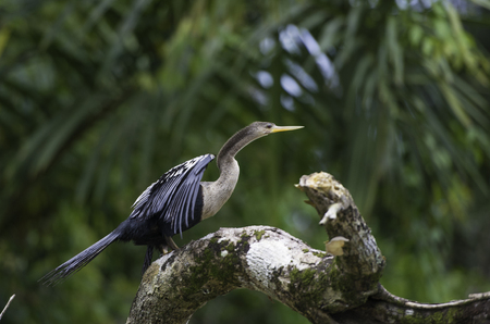 rufous: Wildlife in Costa Rica, tropical bird Anhinga. Rufous Darter or snakebird on a dead branch in nature.