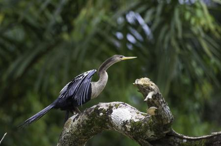 waterbird: Wildlife in Costa Rica, tropical bird Anhinga. Rufous Darter or snakebird on a dead branch in nature.