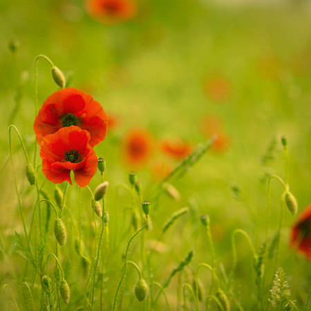 red poppies on green field: Field of poppies with green and red colors, nature background. Stock Photo