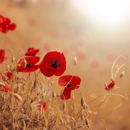 Field of poppies with brown and red colors and sun flares, nature background.