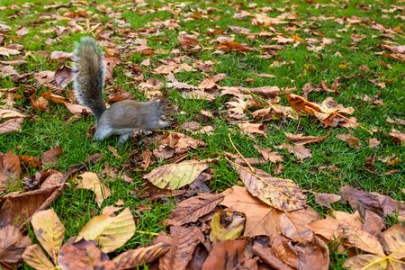 A squirrel on the floor with leaves in Hyde Park - London