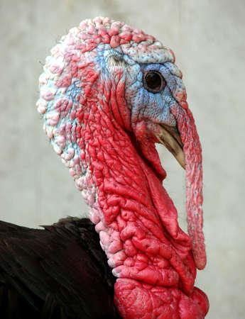 caruncle: Domestic turkey portrait on a farm Stock Photo