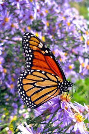 plexippus: Monarch butterfly (Danaus plexippus) feeding on pollen in a bed of purple flowers