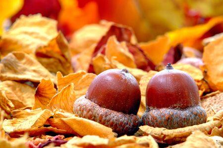 Fallen acorn oak nut on fall color foliage forest floor Banco de Imagens