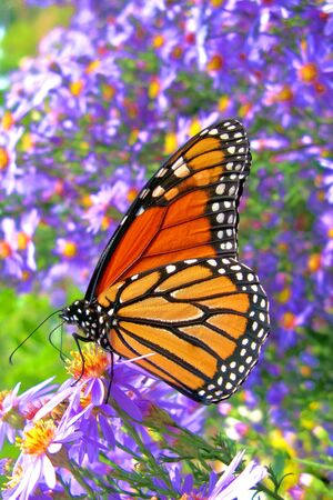 Monarch butterfly (Danaus plexippus) feeding on pollen in a bed of purple flowers photo