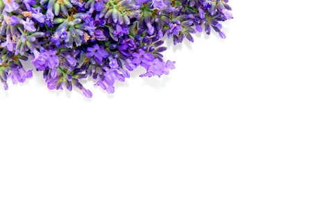 lavanda: Frontera de flores frescas de lavanda púrpura sobre fondo blanco puro con espacio de copia en blanco para insertar texto