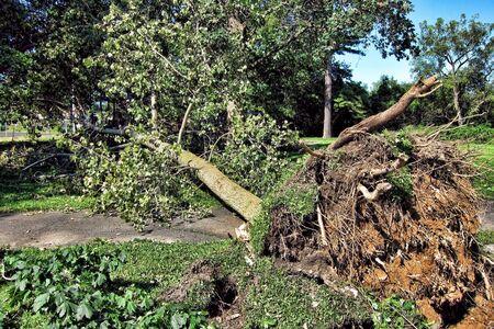 Fallen grote boom met wortels ontworteld en omgevallen naar beneden over een wandelpad in een park in de nasleep van een gewelddadige ramp orkaan Stockfoto