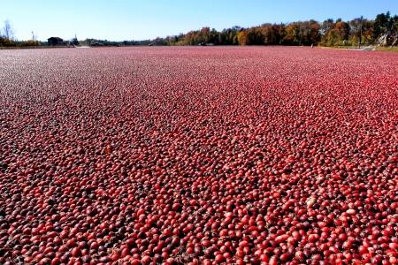 arandanos rojos: Arándanos maduros y rojos en una cosecha de arándano mojado pantano inundado agrícola y la línea de árboles durante la temporada de cosecha de otoño en Nueva Jersey Foto de archivo