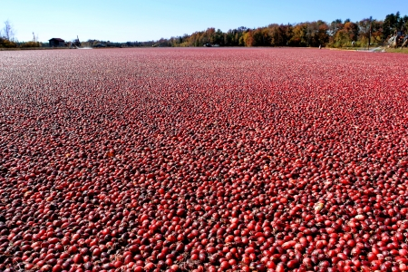 cranberry fruit: Ripe and red cranberries in a wet picking flooded agricultural cranberry bog and tree line during the fall harvest season in New Jersey