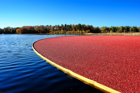 Wet picking boom on flooded agriculture cultivation bog holding fresh ripe and red cranberries ready for harvesting during the cranberry fall harvest in New Jersey