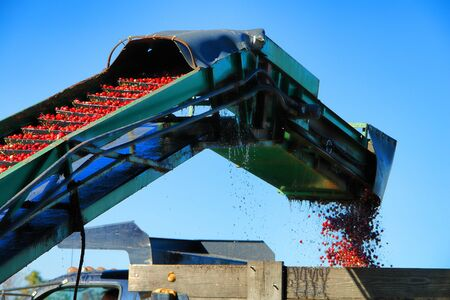 Cranberry conveyor and loader agriculture harvesting machine with fresh picked red cranberries traveling on elevator belt and dropping in waiting farm truck during harvest season