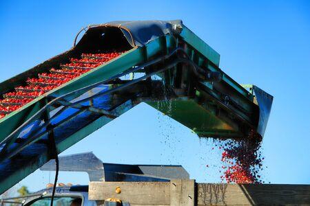 cinta transportadora: Cranberry transportador y la m�quina cargadora de agricultura cosecha de ar�ndanos rojos frescos recogidos en viaje de cintur�n ascensor y colocar en espera cami�n agr�cola durante la temporada de cosecha Foto de archivo