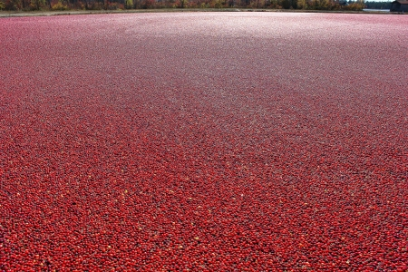 Ripe and red cranberries in a wet picking flooded agricultural cranberry bog during the fall harvest season in New Jersey