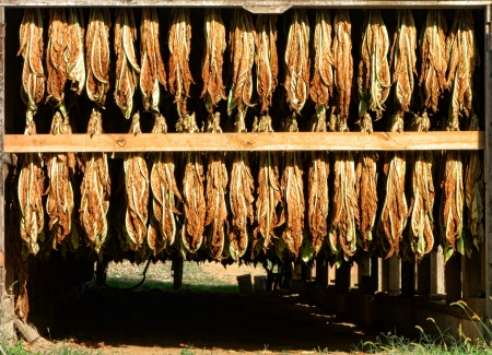 tobacco leaf: Harvested tobacco leaves hanging on racks for drying in sunlight in a rural farm barn Stock Photo