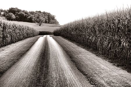 Small country road crossing through tall fields of corn stalks with trees on a hill in a scenic American rural countryside landscape photo