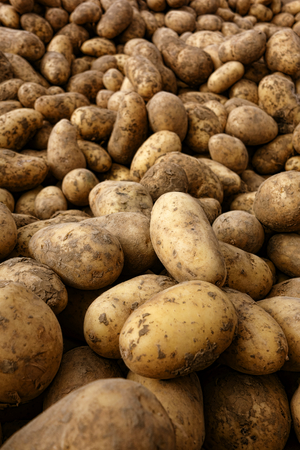 spud: Fresh and natural freshly picked organic potatoes covered with real dirt in bulk produce display for sale at a local rural farmer market