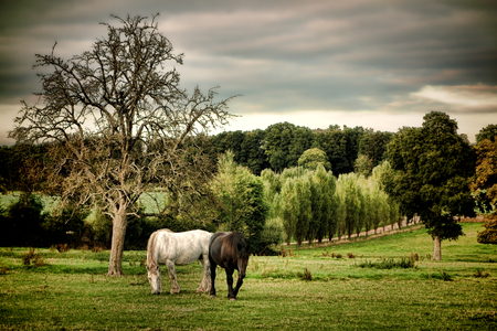 draft horse: Two percherons draft horses grazing in a field in a bucolic country scene in the rural region of the Perche in France
