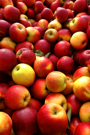 Fresh and natural freshly picked organic apples in bulk fruit display for sale at a local rural farmer market
