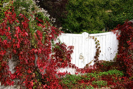 garden gate: Old house property entrance wood gate closed and covered with red and green vine and overgrown vegetation with lush garden in a small village France    Stock Photo