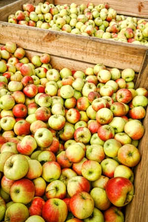 wood agricultural: Fresh and natural organic farm grown McIntosh apples piled in bulk container in wood crate after harvest at a produce and fruit coop agricultural
