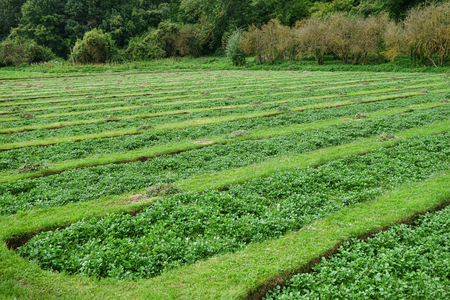watercress: Watercress agriculture green leaf vegetable cultivation field ready to pick before harvest in rural France Stock Photo