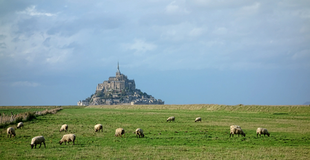 michel: Flock of sheep grazing in a salt meadow field near the famous landmark of Mont Saint Michel abbey in the French province of Normandy in France