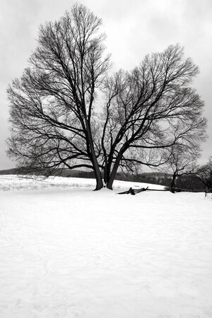Big old tree in a field in winter snow at Valley Forge National Historical Park military camp of the Continental Army near Philadelphia in Pennsylvania  photo