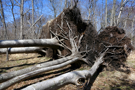 toppled: Group of fallen uprooted trees with roots toppled down with soil and ground dirt attached in park woods in the aftermath of a violent disaster hurricane storm  Stock Photo