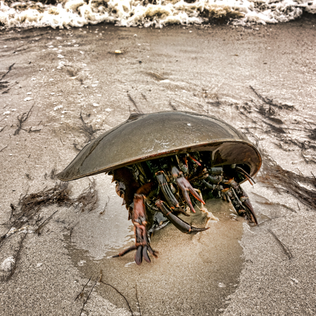 arthropod: Horseshoe crab arthropod with moving claws on legs under carapace crawling and struggling on a sand beach with crashing waves at high tide