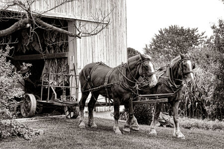 unloading: Pair of strong farm draught horses ready to pull an empty tobacco cart wagon after unloading a load of leaves crop into a traditional Amish barn during harvest in Lancaster County in Pennsylvania