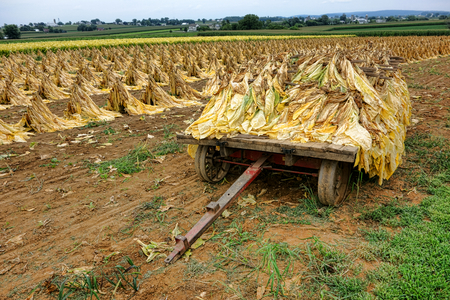 haul: Tobacco leaf load ready to haul and dry on a harvesting cart wagon in an agricultural field with drying leaves crop during harvest on a traditional Amish farm in Lancaster County in Pennsylvania