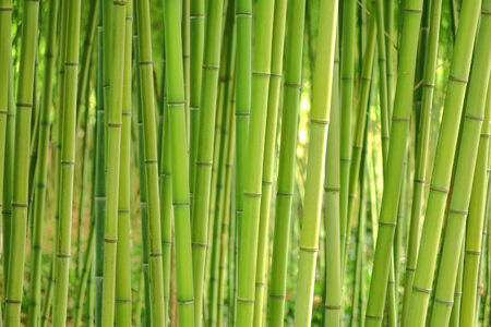 Bamboo grass stalk plants stems growing in dense forest like grove as a relaxing and peaceful green background Foto de archivo