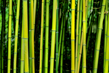 perennial plant: Green bamboo grass stem stalk plants in deep and dense grove forest