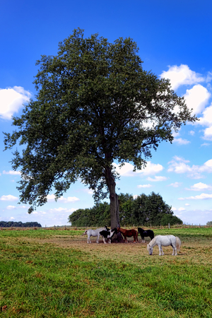 Group of ponies grazing in a field under a big old tree in a quiet farmland rural landscape