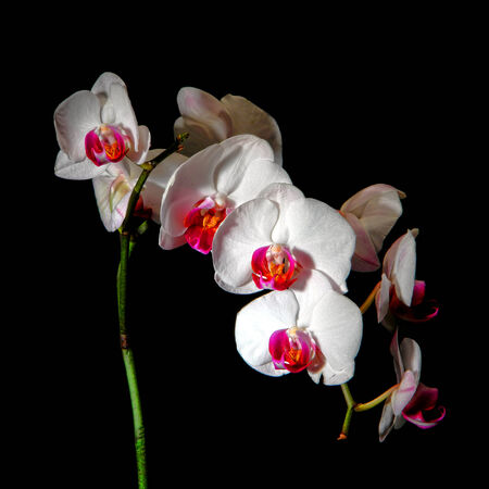 White orchid flower with pink and red petals on black background